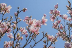 sabykoloni_magnolia2